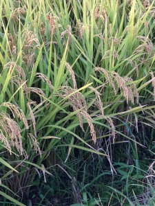 エコフィード、飼料米